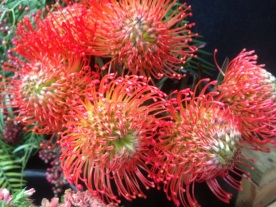 Pin Cushion Protea