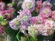 Pink Scabiosa
