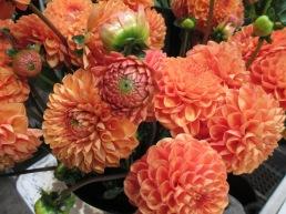 orange ball dahlias