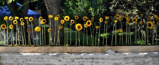 Sunflower Screen