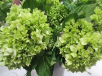Mini Green Hydrangea