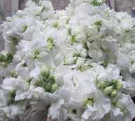 white stock