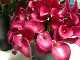 Cranberry Calla Lilies