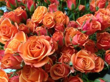 Mambo Spray Roses