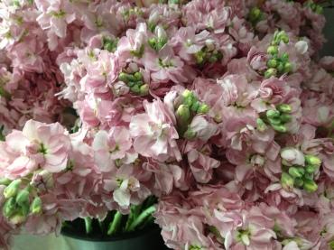 blush pink stock