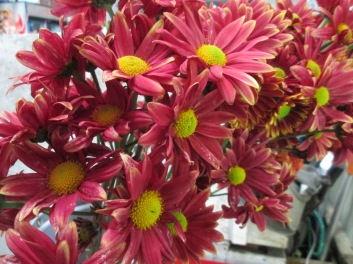 Dusty Red Daisy Mums