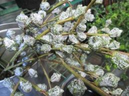 Eucalyptus Silver Bells