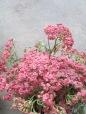 Pink Yarrow